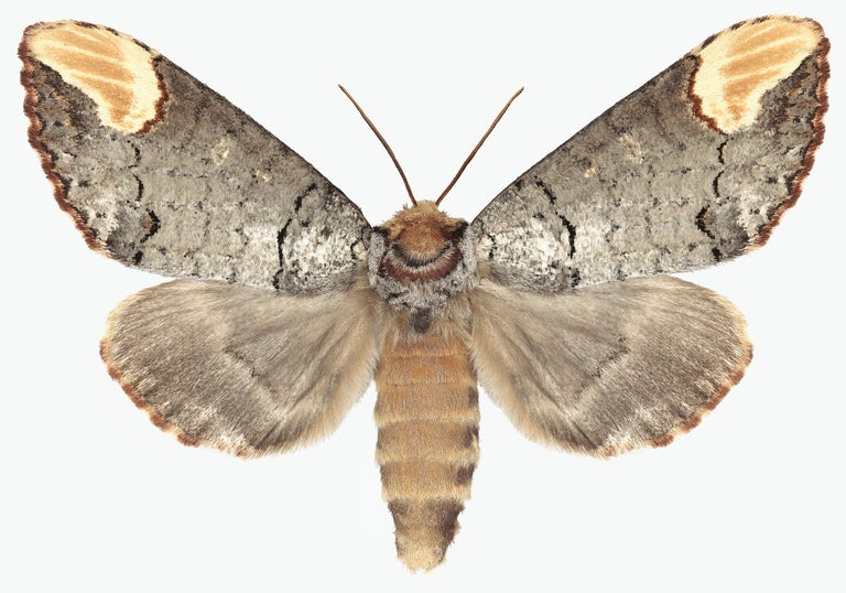 Joseph Scheer Color Photograph - Phalera Assimilis, Nature Photograph of Beige and Brown Moth on White Background