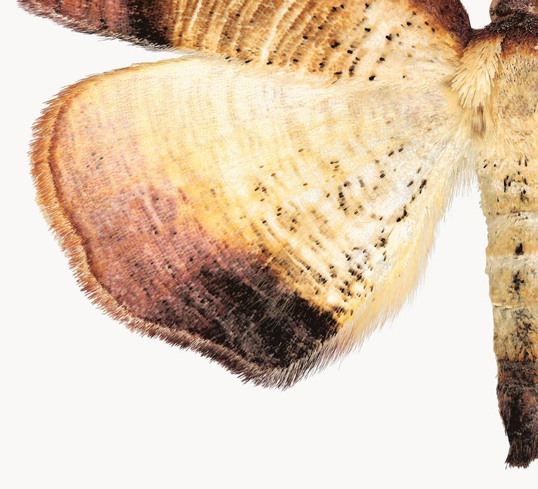 In this hyper-detailed archival pigment print on watercolor paper, a cream and ivory moth with golden brown stripes on its wings is dramatic against a solid white background.   Price shown is the unframed price. Please inquire with the gallery for