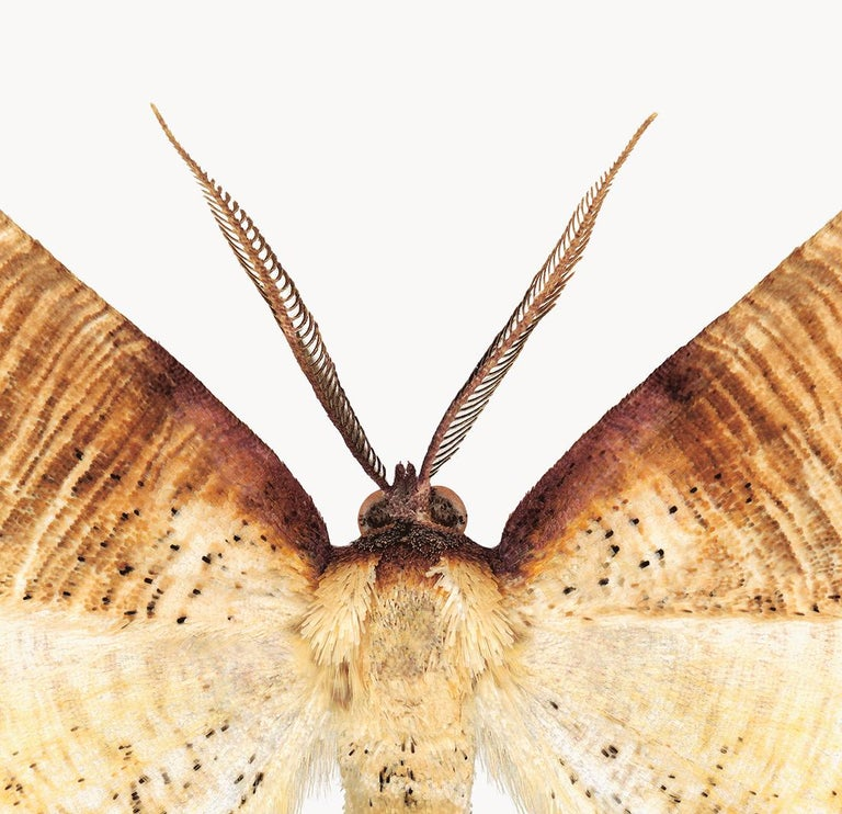Plagodis Dolabraria, Nature Photograph of Brown, Beige, Cream Moth on White For Sale 1