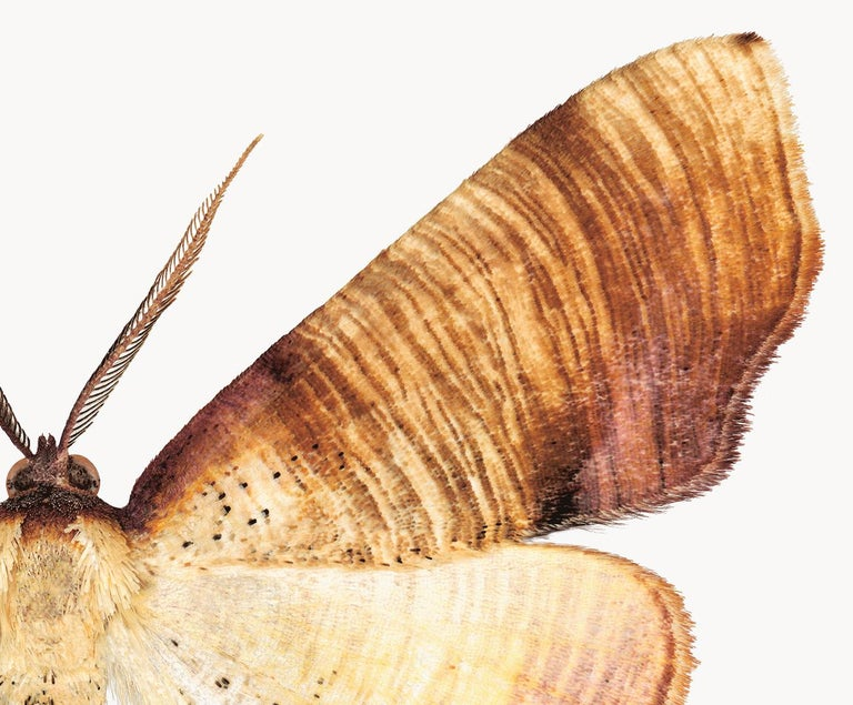 Plagodis Dolabraria, Nature Photograph of Brown, Beige, Cream Moth on White For Sale 2