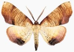 Plagodis Dolabraria, Nature Photograph of Brown, Beige, Cream Moth on White