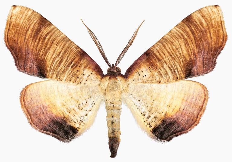 Joseph Scheer Color Photograph - Plagodis Dolabraria, Nature Photograph of Brown, Beige, Cream Moth on White