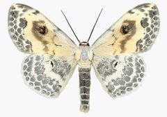 Somatina Indicataria, Nature Photograph of White, Brown, Ivory Moth on White