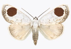 Sphragifera Sigillata, Nature Photograph of White, Brown, Beige Moth on White