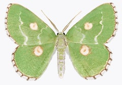 Thetidia Albocostaria, Nature Photograph of Green Moth on White Background