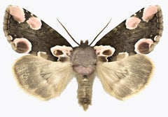Thyatira Batis Batis, Nature Photograph of Brown, Beige, Pink Moth on White