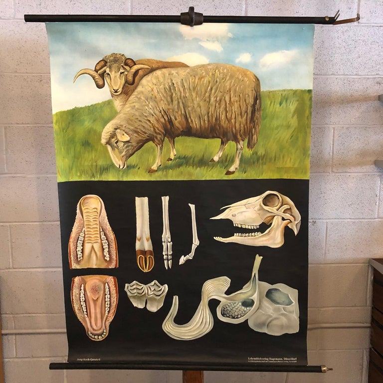 German, educational, zoological, roll-up chart depicting the anatomy of sheep/Ovis Aries by Jung-Koch-Quentell, Lehrmittelverlag Hagemann - Hadü Lehrmittel Düsseldorf is printed on canvas backed paper on painted maple dowels with steel vertical