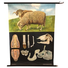 Jung-Koch-Quentell Educational Zoological Sheep Anatomy Chart