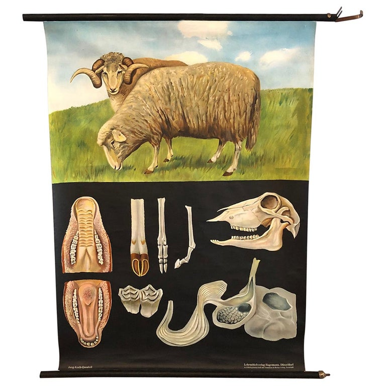 Jung-Koch-Quentell Educational Zoological Sheep Anatomy Chart For Sale