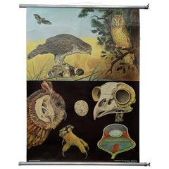 Jung Koch Quentell Rollable Wall Chart Poster Goshawk Buzzard Long-Eared Owl
