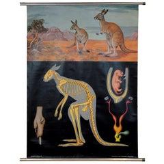 Jung Koch Quentell Vintage Pull Down Wall Chart Kangaroo Australian Landscape