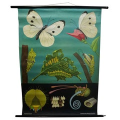 Jung Koch Quentell Vintage Rollable Wall Chart Cabbage White Butterfly Print
