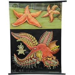 Jung Koch Quentell Vintage Rollable Wall Chart Red Sea Star
