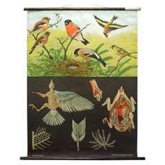 Jung Koch Quentell Vintage Rollable Wallchart Finches Birds
