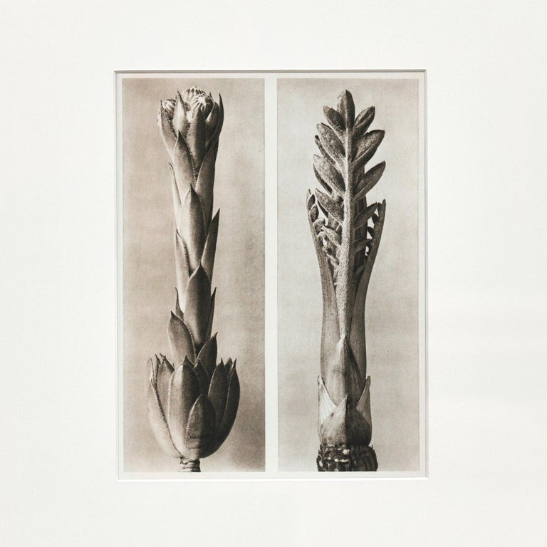 Karl Blossfeldt photogravure from the edition of the book 'Wunder in der Natur' in 1942.  Photography number 24. Sempervivum tectorum. Hauslauch, Dachlauch in 3 facher Vergrößerung.  In original condition, with minor wear consistent with age and
