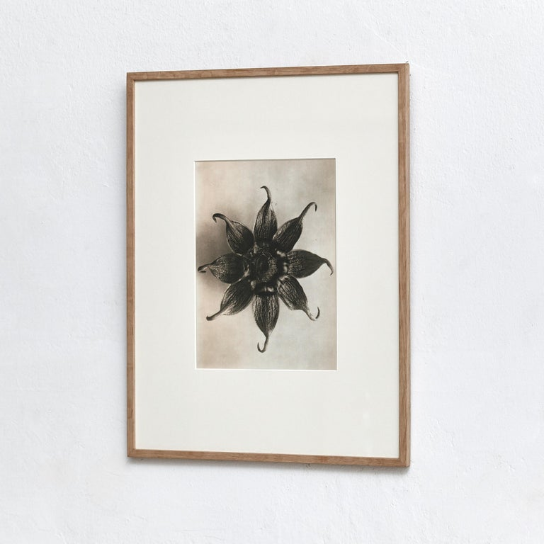 Karl Blossfeldt Photogravure from the edition of the book 'Wunder in der Natur' in 1942.