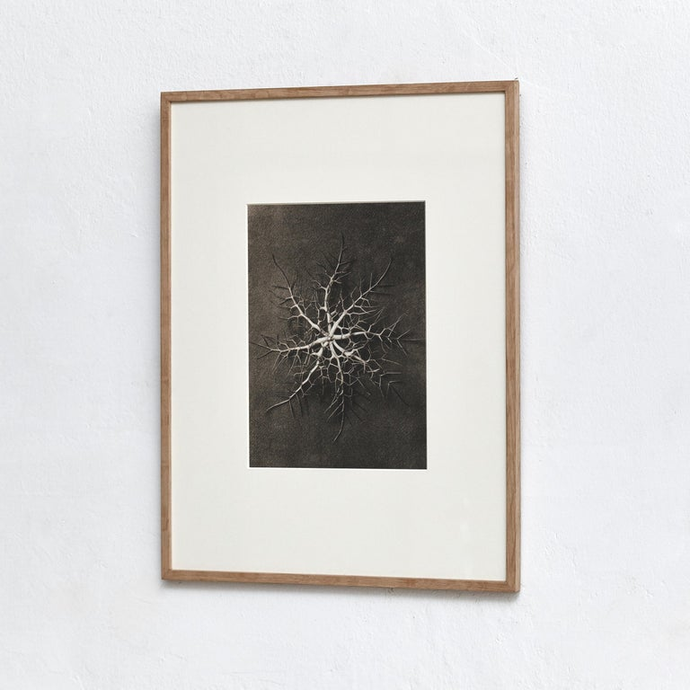 Karl Blossfeldt Photogravure from the edition of the book 'Wunder in der Natur' in 1942.  Photography number 28 Nigella damascena. Jungfer im Grünen, Sinnenkopf, Schawarzkümmel Kelchblätter in 6 facher Vergrößerung.  In original condition, with