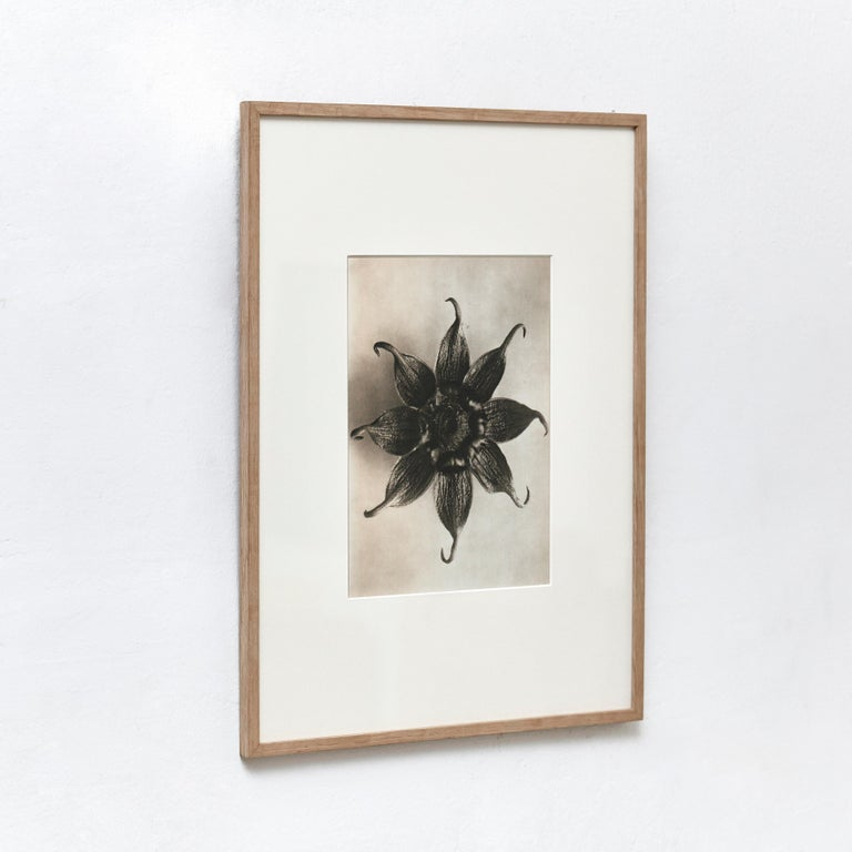 Mid-Century Modern Karl Blossfeldt Black White Flower Photogravure Botanic Photography, 1942 For Sale