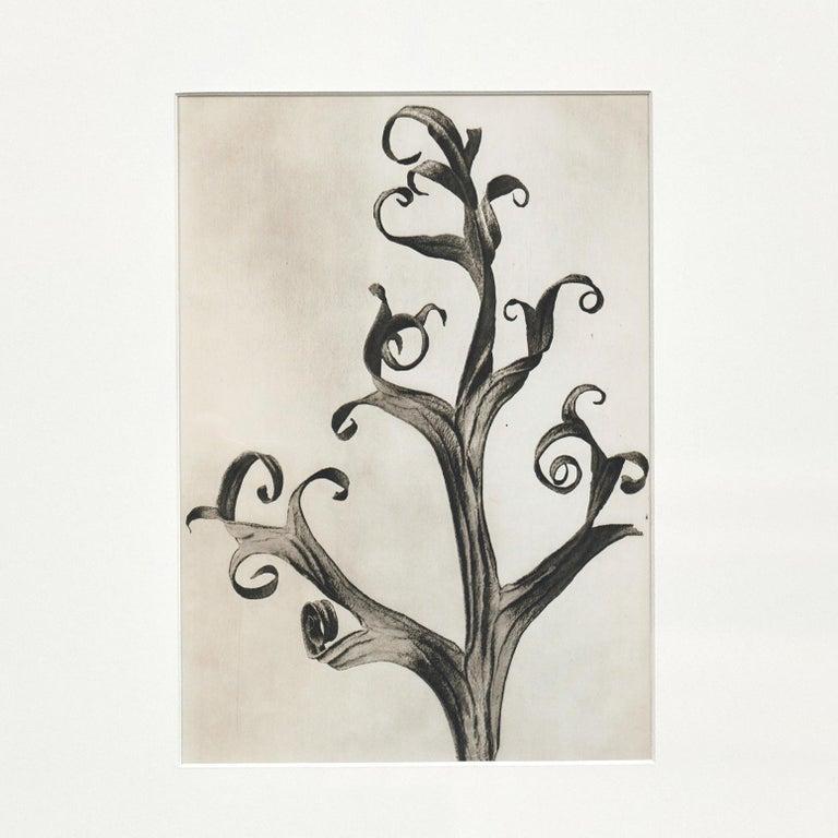 Spanish Karl Blossfeldt Black White Flower Photogravure Botanic Photography, 1942 For Sale