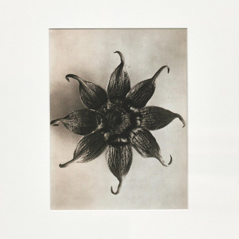 Spanish Karl Blossfeldt Black White Flower Photogravure Botanic Photography, 1942 For Sale