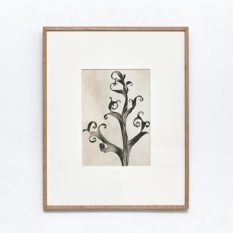 Karl Blossfeldt Black White Flower Photogravure Botanic Photography, 1942 In Good Condition For Sale In Barcelona, Barcelona