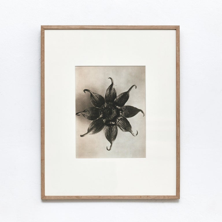 Karl Blossfeldt Black White Flower Photogravure Botanic Photography, 1942 In Good Condition For Sale In Barcelona, Barcelona