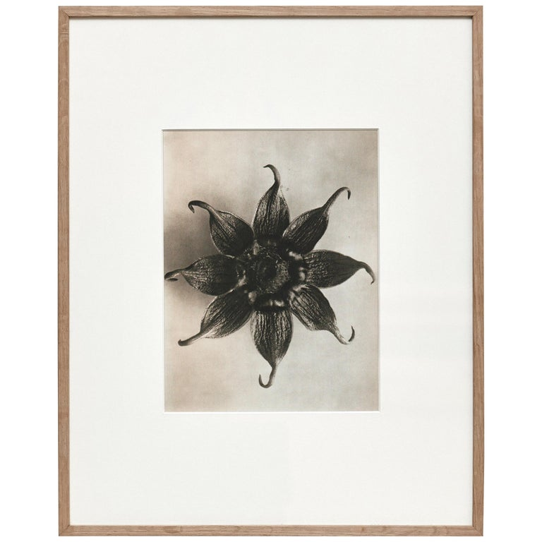 Karl Blossfeldt Black White Flower Photogravure Botanic Photography, 1942 For Sale