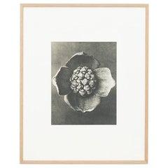 Karl Blossfeldt Black White Flower Photogravure Botanic Photography, 1942