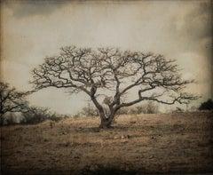 Bare Tree, Mexico