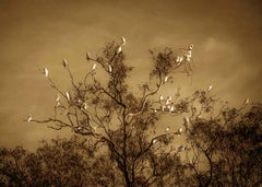 Corella, Dawn, Murray River, South Australia