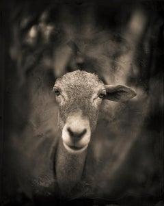 One Eared Goat