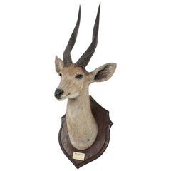 Kenyan Mounted Taxidermy Bushbuck Hunting Trophy Dated 1910