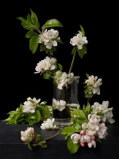 Malus,  Botanical photographic print, Old Masters Style, 21st century