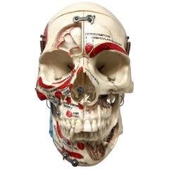 Kilgore Authentic Anatomical Preparation Human Skull