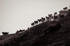 'Band on the Run', Wild Horses & Western Landscape Black & White Photography
