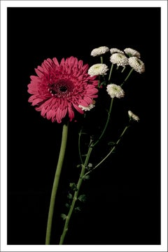 Pink and White Delicate Flowers, Black Background, Bright Elegant Giclée Print