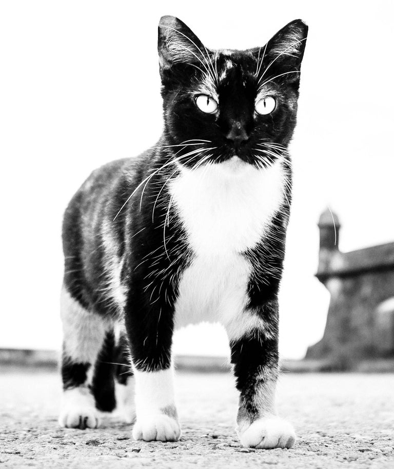 Cat, Puerto Rico - Black & White Photo of  Giant Looking Cat with Piercing Eyes - Photograph by Kirill Polevoy
