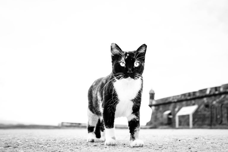 Kirill Polevoy Black and White Photograph - Cat, Puerto Rico - Black & White Photo of  Giant Looking Cat with Piercing Eyes