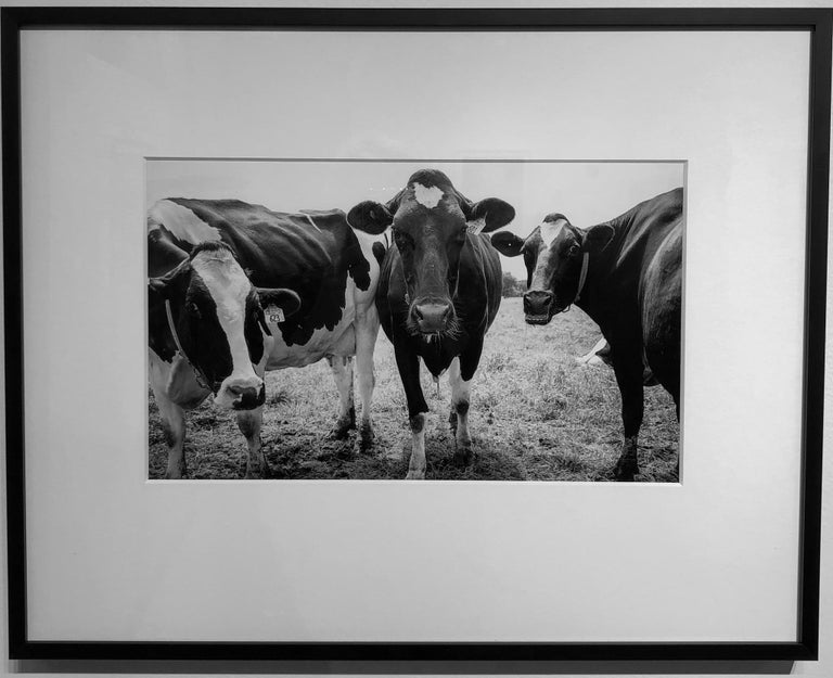 Cows, Kettle Moraine, WI, Framed Black and White Photography, Signed on Back For Sale 1