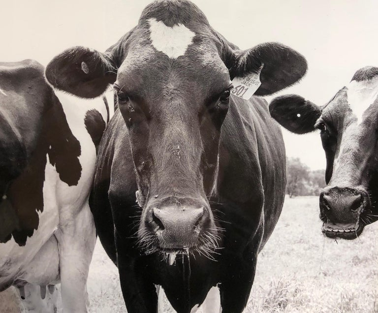 Cows, Kettle Moraine, WI, Framed Black and White Photography, Signed on Back For Sale 2
