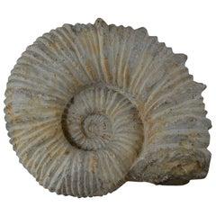 Large Ammonite, Genuine Fossil