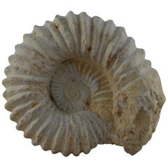 Large Ammonite, Genuine Fossil
