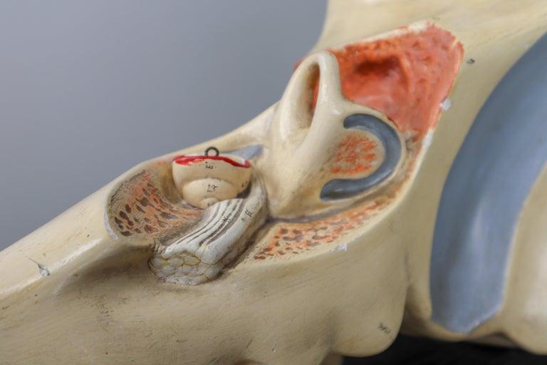 Large Anatomical Teaching