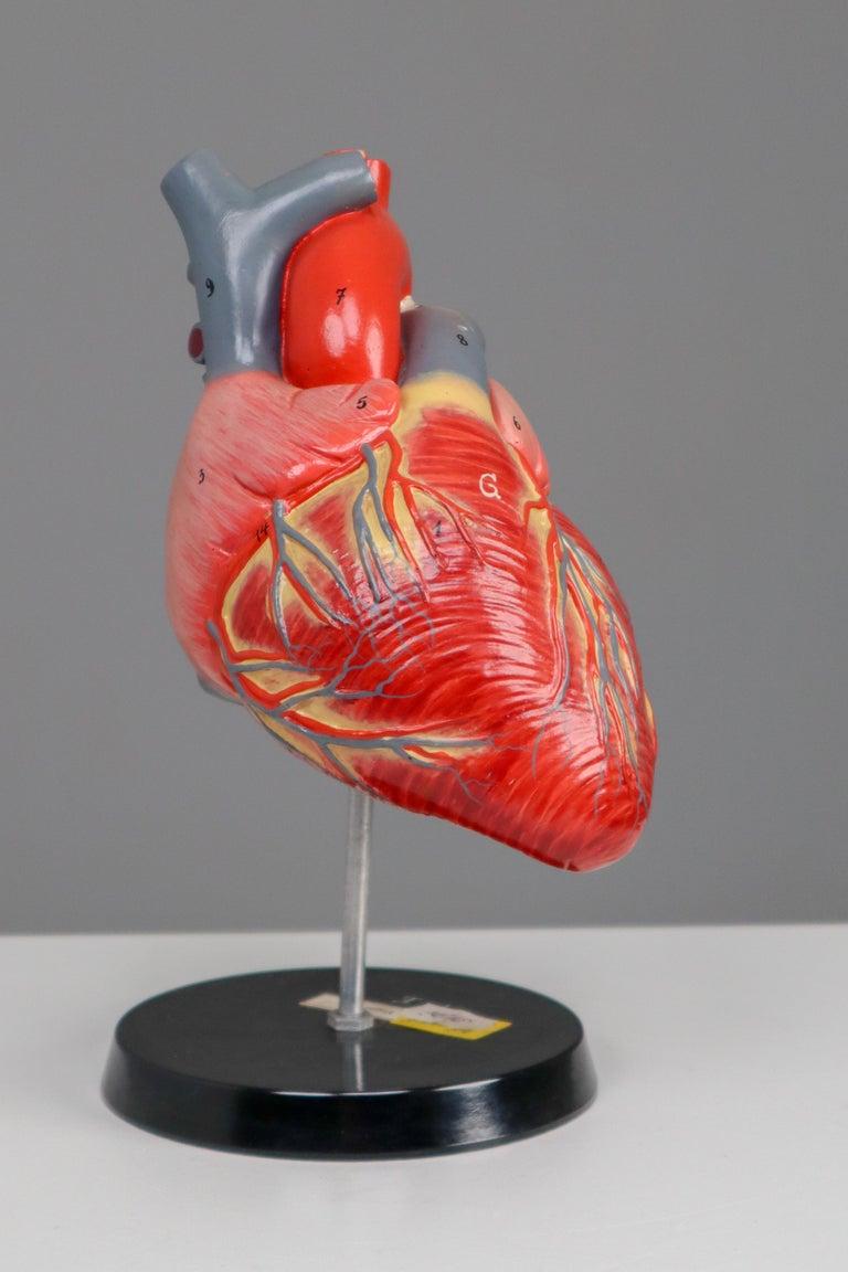 20th Century Large Anatomical Teaching Model