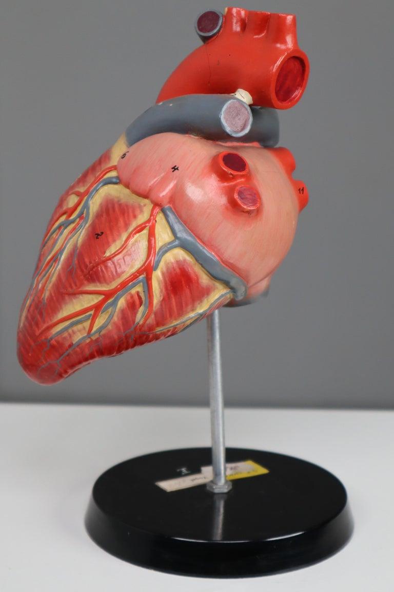 Metal Large Anatomical Teaching Model