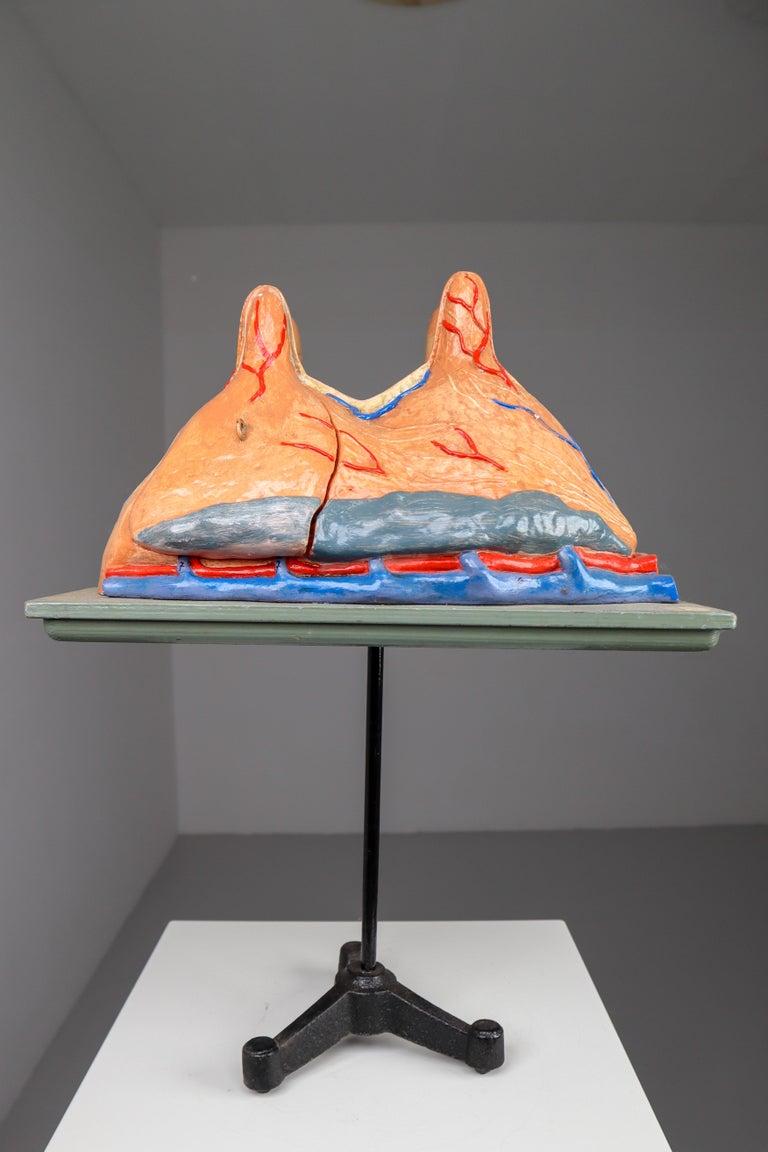 Large Anatomical Teaching Model