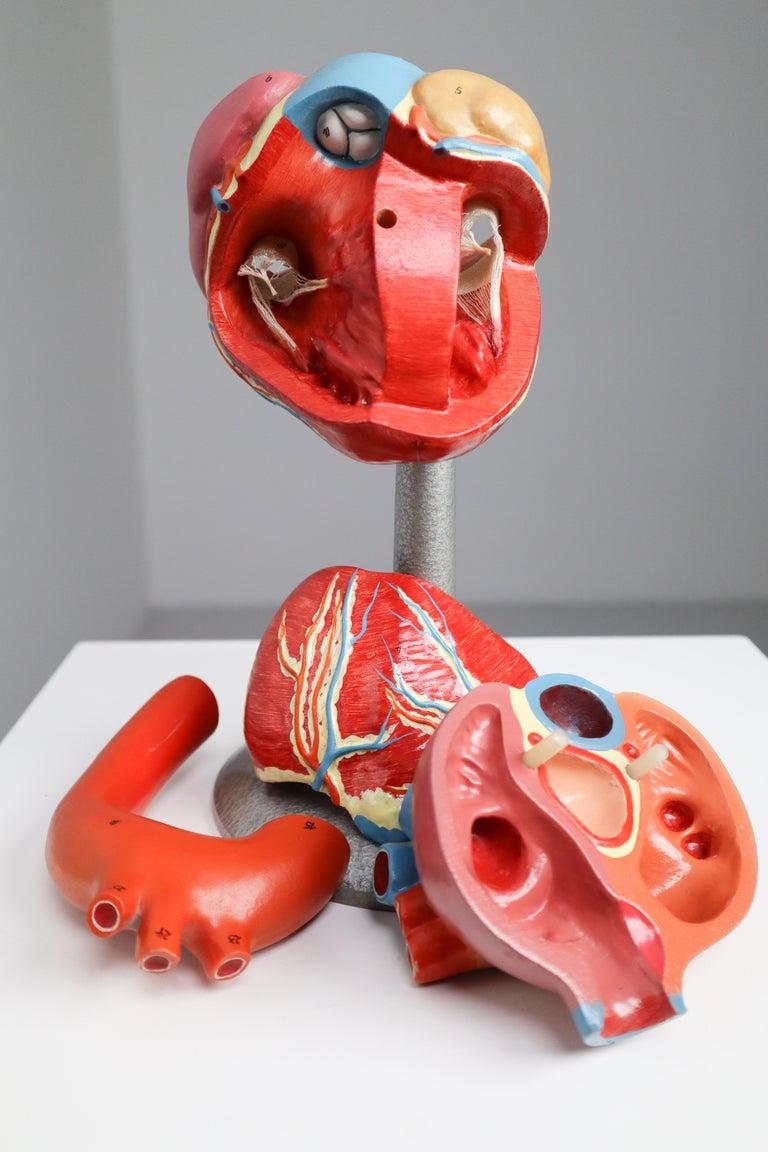 Bauhaus Large Anatomical Teaching Model