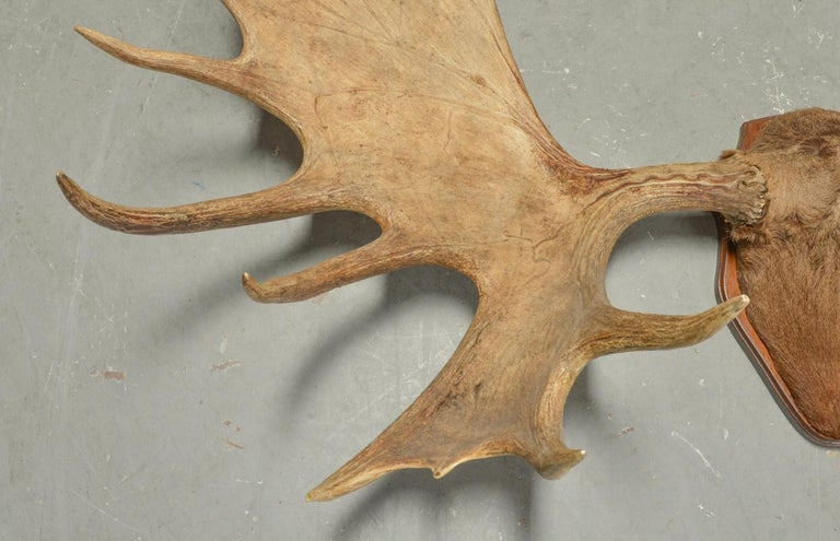 Large and Impressive Swedish Elk Antlers with 29 Points In Good Condition For Sale In Søborg, DK