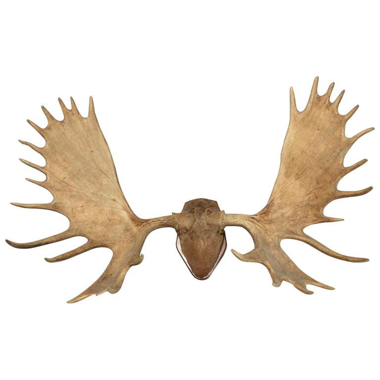 Large and Impressive Swedish Elk Antlers with 29 Points For Sale