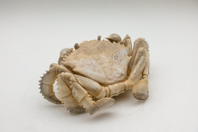 Large and Very Detailed North American Moose Antler Carving of Crab